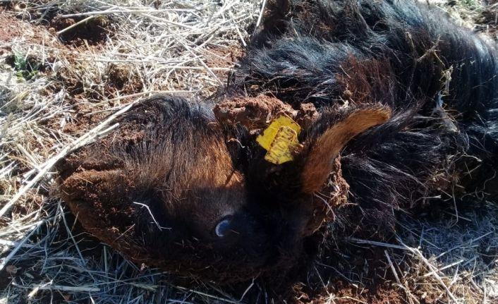 Isparta'da kurtlar keçilere saldırdı