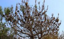 Aydın'da çam ormanları çam kese böceği istilasına uğradı