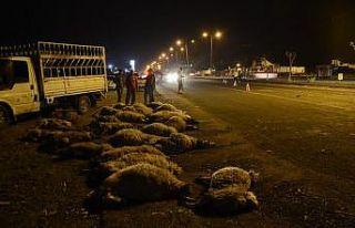 Otomobil koyun sürüsüne çarptı: 40 koyun telef...