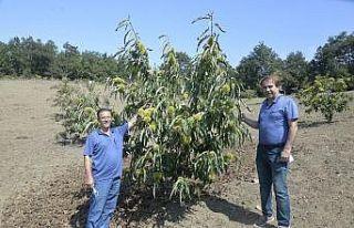 İlka Şekerleme Bursa'da kestane tarımını özendiriyor