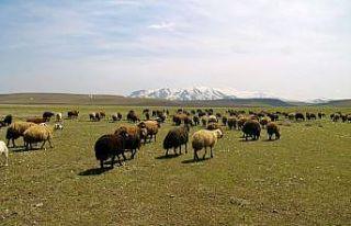 Ağrı'da yaylalar koyun sürüleriyle renklendi