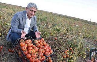 Bitlis'te 200 bin ton domatesten 400 milyon TL gelir...