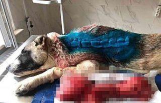 Kangal cinsi köpeğin sırtından 4 kilogram tümör...