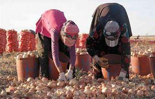 (ÖZEL) Eskişehir'de kışlık soğan hasadı başladı