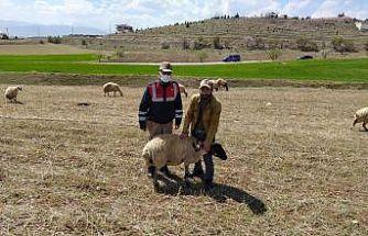 Elazığ'da kayıp koyunlar jandarma tarafından bulundu