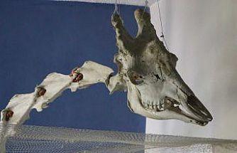 Elazığ'da 50 çeşit hayvanın anatomik yapısının bulunduğu müzede, Türkiye'de ilk olan zürafa iskeleti yer alıyor
