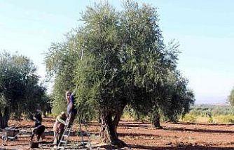Kilis'te zeytinde erken hasat dönemi