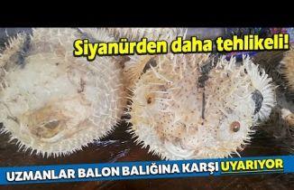 Türkiye Kıyılarında Balon Balığı Tehlikesi